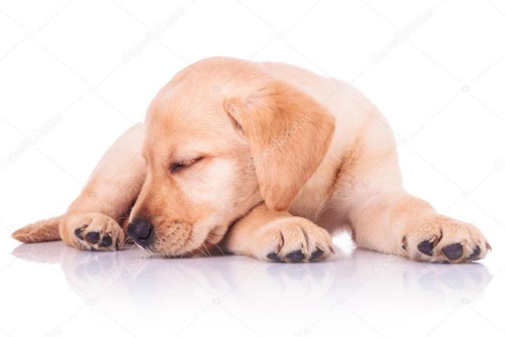 depositphotos_46576547-stock-photo-little-labrador-retriever-puppy-dog.jpg