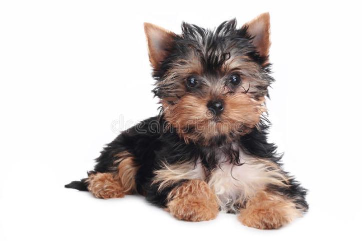 yorkshire-terrier-puppy-white-background-14356221