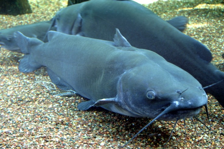 Channel_Catfish.jpg