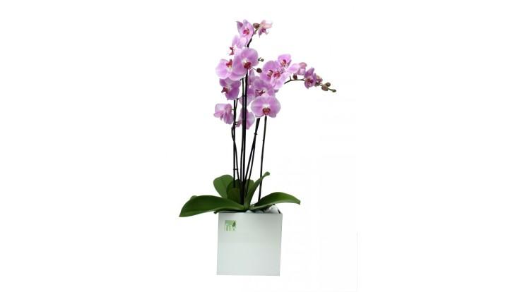 orxidea-phalainopsis.jpg