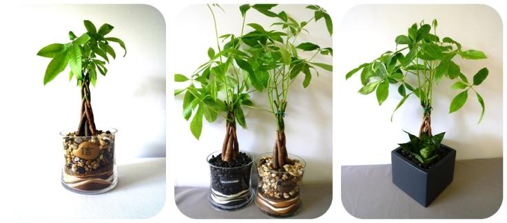 pachira_money_tree_plant.jpg
