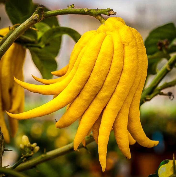 buddhas-hand-citron-1.jpg