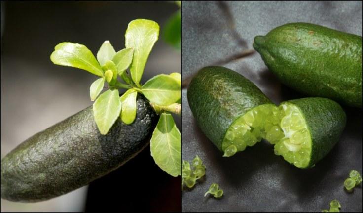 finger-lime-trees.jpg