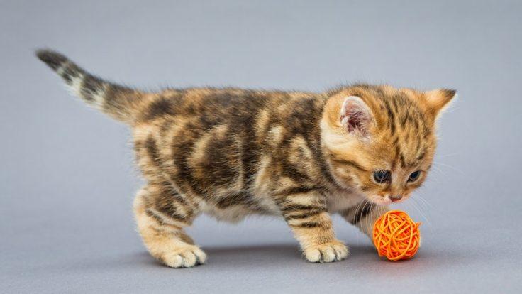 4e1afb93-afba-49fe-96e6-b2bbd1ea0125-safe-toys-for-kittens.jpg