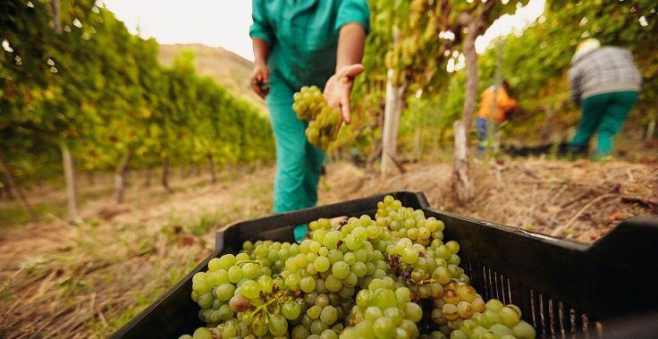 vineyards-during-the-grape-harvest.jpg