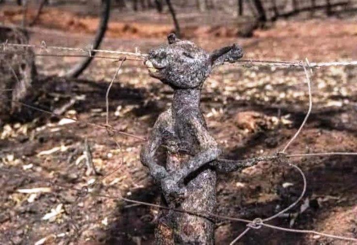 kangaro-australia-kammeno.jpg