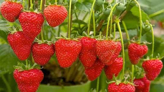 Strawberries940x627
